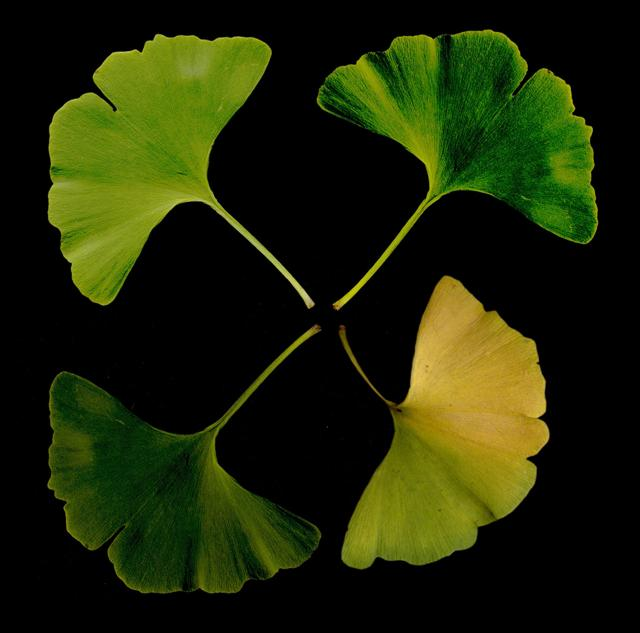 The Mindless Ginkgo